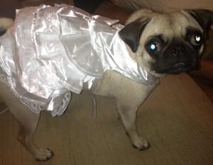 pug in wedding dress