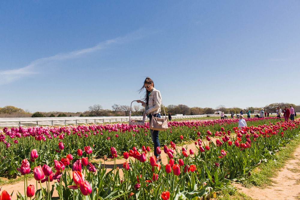 Dallas Tulip Farm