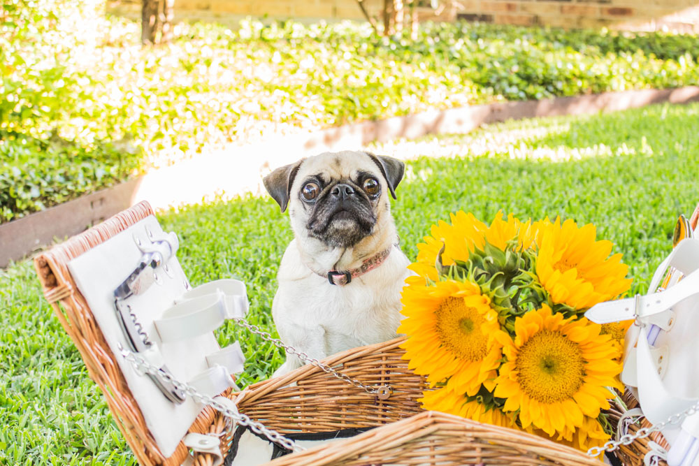 Pug and Picnic basket with sundlowers